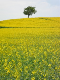 Bright yellow Oilseed Rape field, Stonnall, Staffordshire, England All Original Photography by http://vwcampervan-aldridge.tumblr.com
