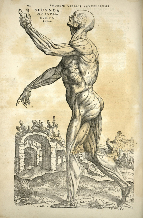 "jtotheizzoe:  explore-blog:  The human body by Andreas Vesalius, 1543 – one of 100 diagrams that changed the world  In the 16th century, people had very developed gluteus maximus muscles, because they had to walk everywhere. But life expectancy was low, on account of not having skin.  ""You can do back bends or sit ups, but please don't lose that butt"" –Andreas Vesalius, 1543"