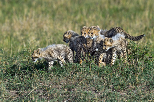 "eyes-of-the-cat:  ""Cheaper by the (half) dozen!"" (Marc MOL)  That's an awful lot of cubs for a cheetah litter!"