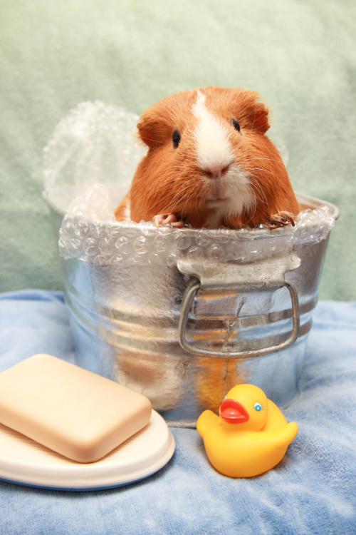 guinea pig piggums Mabel bubble bath cappy