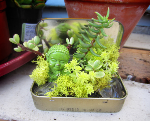 simonedrucker:  Tiny succulent garden in an altoids tin.