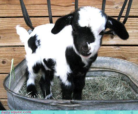 Are goats the cutest? Or are goats the cutest.