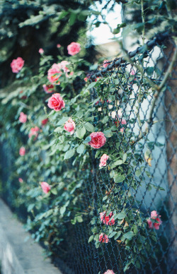 senerii:  Roses#1 by N+T* on Flickr.