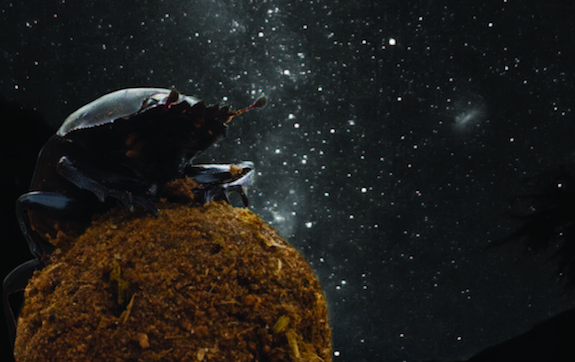 "African Dung Beetles Navigate at Night Using the Milky Way  Science has shown us that a number of organisms use the stars for navigation: songbirds, harbor seals and, of course, humans. But a new study by a team of Swedish and South African researchers published today in the journal Cell Biology indicates that a rather unexpected creature can be added to this list—the lowly dung beetle. The beetles are known for creating small balls made of animal feces (i.e. dung) and rolling them in straight lines over long distances. They do this because the dung is their main food source—and other beetles often try to steal the dung once it's been rolled into a ball. The surest way of retaining the valuable dung once it's been packed into a ball is to move it away from the original dung pile as quickly as possible.  Researchers, though, have long been mystified by the tiny beetles' ability to roll the dung balls in straight lines at night. ""Even on clear, moonless nights, many dung beetles still manage to orientate along straight paths,"" said lead author Marie Dacke of Lund University in Sweden. ""This led us to suspect that the beetles exploit the starry sky for orientation—a feat that had, to our knowledge, never before been demonstrated in an insect."" - Continue reading at Smithsonian.com.  Photo courtesy of Current Biology, Dacke et. al."
