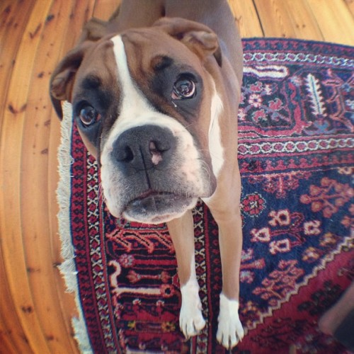 """What is that thing on your iPhone?"" #curious #puppy #boxer #olloclip #instagram #instamoment #oslo #norway  (at The Awesomes HQ)"