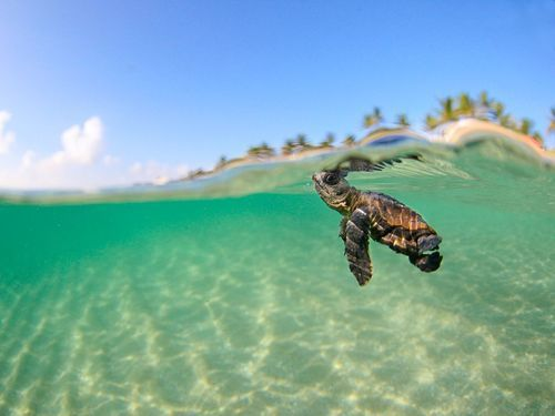 Baby Sea Turtle | via Tumblr on We Heart It. http://weheartit.com/entry/57340473/via/alicia_parr_58