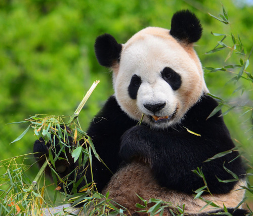 giantpandaphotos:  Da Mao at the Toronto Zoo in Toronto, Canada, on May 17, 2013. Yesterday on May 17 the zoo gave a Members Preview of the giant pandas, Er Shun (female) and Da Mao (male). The giant panda exhibit will formally open TODAY on May 18. © Arvo P.