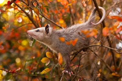 animals-animals-animals:  Opossum (by A-jean)
