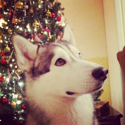 A very #Kiba Christmas. #siberianhusky #husky #dog #christmas #holiday #immakinghimsitstillwithatreat