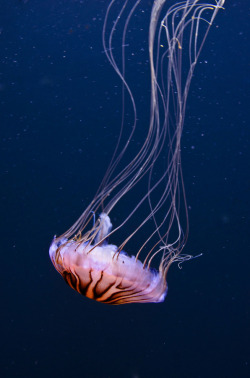 animalkingd0m:  Another Jellyfish by Michael Sheltzer