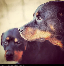 Two gorgeous Rottweilers. Two beautiful sisters Via @catarazza For more cute dogs and puppies