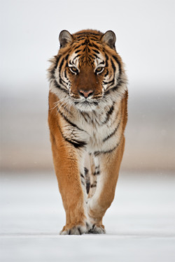 earthlynation:  Siberian Tiger by Catman Suha