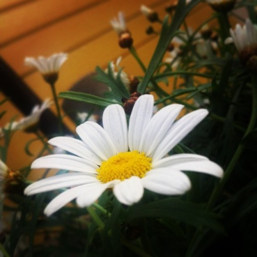 Daisy 🌸 #daisy #flower #nature #summer  (på/i Ekman's place)