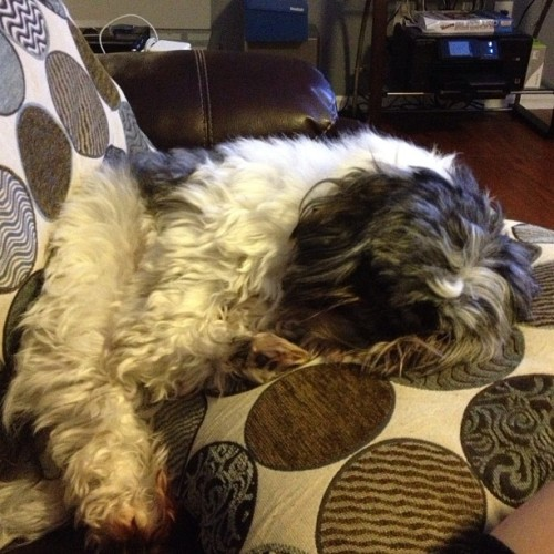 Kiko is down for the count. #sleep #puppy #cute #dog #petstagram #shitzu 😴