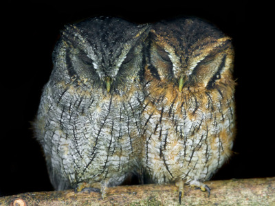 Two small owls sleeping together (by Tambako the Jaguar)