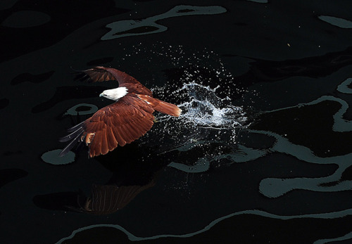 A Brahminy kite swoops down on prey in the sea inside an enclosure of Ocean park, Manila, Philippines (Ted Aljibe/AFP/Getty Images)