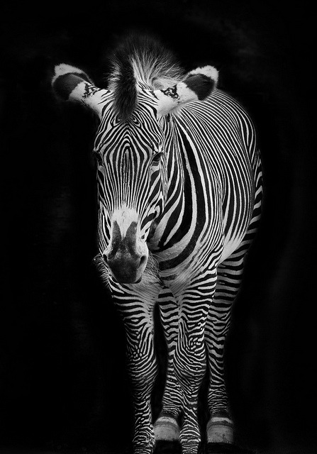 funnywildlife:  Zebra B&W by Stephen Bridson on Flickr.