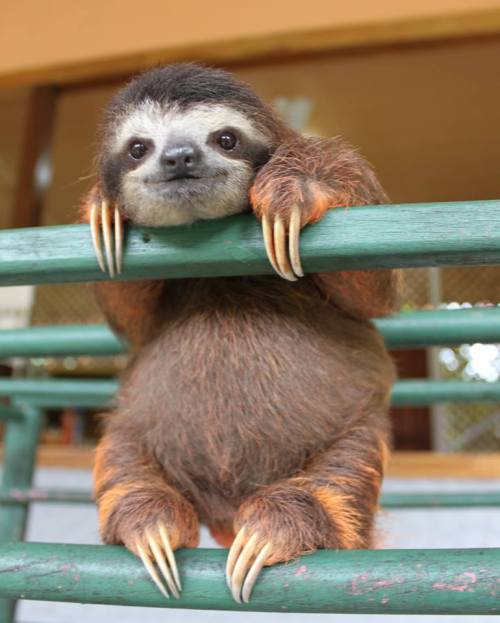 zooborns:  Save Our Sloths!  Years before Sloths inspired best selling books, TV specials and Kirsten Bell meltdowns, ZooBorns was delivering them to your eyeballs courtesy of The Sloth Sanctuary in Costa Rica. This unique facility has been rescuing and rehabilitating orphaned and injured sloths for over 20 years. Now they need our help.  Visit ZooBorns today to learn about this worthy cause and to see more of the adorable sloths that currently reside at the sanctuary!