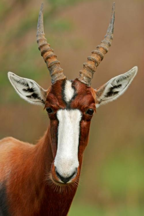 earth-song:  Bontebok are incredibly handsome creatures that are officially 'extinct in the wild.'  The bontebok is an antelope found in South Africa and Lesotho. The bontebok has twosubspecies; the endangered bontebok (Damaliscus pygargus pygarus), occurring naturally in the Fynbos and Renosterveld areas of the Western Cape, and the blesbok(Damaliscus pygargus phillipsi) occurring in the highveld. bontebok is a tall, medium-sized antelope. They typically stand 80 to 100 cm (31 to 39 in) high at the shoulder and measure 120 to 210 cm (47 to 83 in) along the head and body. The tail can range from 30 to 60 cm (12 to 24 in). Body mass can vary from 50 to 155 kg (110 to 340 lb). Males are slightly larger and noticeably heavier than females.The bontebok is a chocolate brown colour, with a white underside and a white stripe from the forehead to the tip of the nose, although there is a brown stripe across the white near the eyes in most blesbok. The bontebok also has a distinctive white patch around its tail (whence the Latin name), while this patch is light brown/tan in blesbok. The horns of bontebok are lyre-shaped and clearly ringed. They are found in both sexes and can reach a length of half a metre. [read more]
