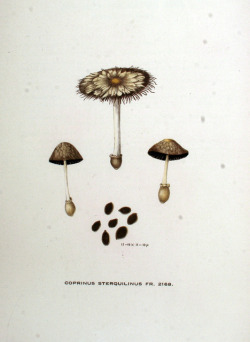 wapiti3:  Coprinus sterquilinus on Flickr.  Flora Batava. Picture and description of the Dutch Crops. (1906) © Kurt Stueber