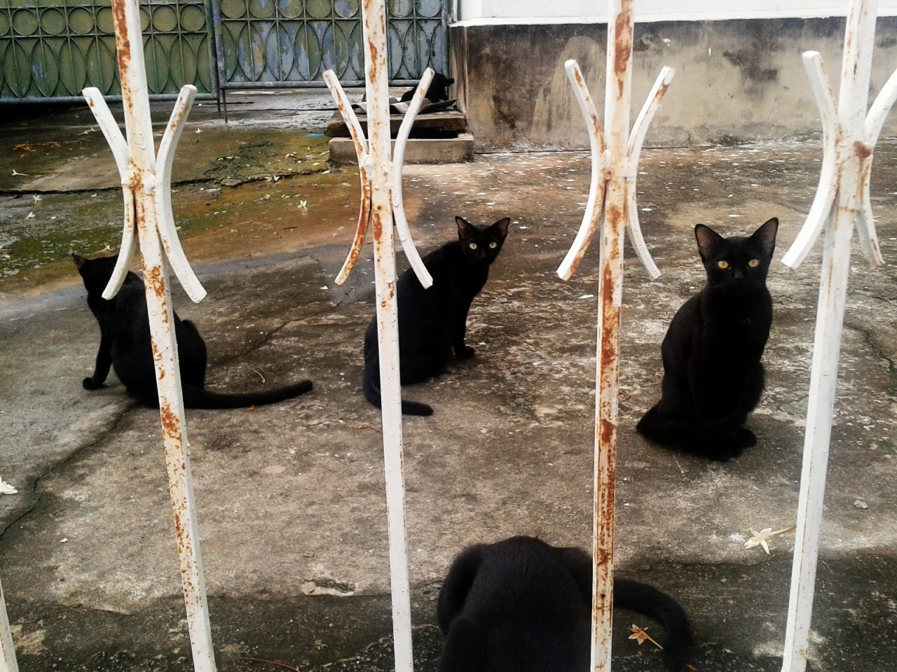 Black cats in Bangkok