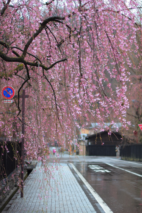 sendmetoasia:  weeping cherry (by konatu411)