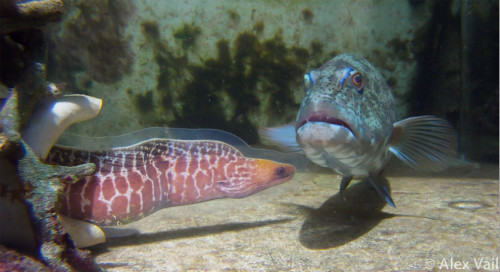 """When Your Prey's in a Hole and You Don't Have a Pole, Use a Moray """"Redouan Bsharyis best known for studying cleaner wrasse—tiny underwater hygienists that pick parasites from much larger fish, like the roving coral grouper. In 2006, Bshary decided to follow one of the groupers to see whether it sought the services of several cleaners in a row. Instead, he saw something wholly unexpected. The groupers repeatedly swam up to giant moray eels and made a vigorous head-shaking signal. It was a call to arms—a signal that meant """"Hunt with me"""". The eels respond by swimming off with the groupers. They can slink through crevices and flush out hidden prey, while the groupers are lethal in open water. When they hunt together, little fish have nowhere to flee."""" Learn more from Ed Yong at Not Exactly Rocket Science."""