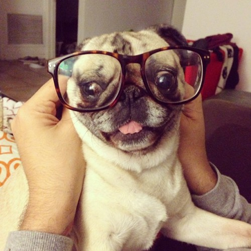 dannybrito:  smarty pants #pug