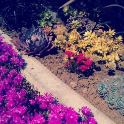 yesstess:  #spring is upon us. #succulents  Purps