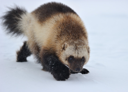 earthandanimals:  A little cool on a hot day, or a story about a Wolverine byNikolai Zinoviev