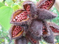 Annatto, the ticket to Mexican flavor