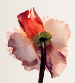 Tuberous begonia photographed by Irving Penn
