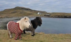 uproxx:  Scotland's Tourism Board Is Using Shetland Ponies In Sweaters To Lure You To Their Country