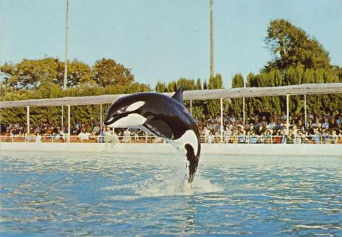 save-lolita:  Kim. Male. WildCaptured: June 1976Days in Captivity: 2244Date of Death: June 24th 1984Age: 14 yearsCause of Death: Lung AbcessPlace of Death: Marineland Antibes France  Interesting fact: Kim was sick on and off for most of his time in captivity, but he was very sick for the last two years (and at one point he went temporarily blind and needed injections into his eyes), but near the end of his life, vets at Marineland wanted to perform a blood transfusion on Kim, but the other whale at the park, Betty, had a different type of blood that was not compatible with Kim's (orcas have different blood types just like humans). So Marineland asked SeaWorld to donate  some of their whale's blood to help save Kim's life. SeaWorld refused. It was only after he died that they found the abscess in his lung and the transfusion wouldn't have saved his life anyway, but it shows that SeaWorld have had a long history of not giving a shit about whales in parks other than their own. I've written about this a little bit more on the website I'm making. I'm hoping to post it when I reach 2000 likes on the Facebook page. It seems like a nice milestone.