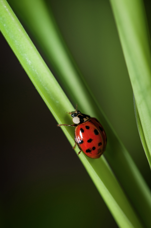 Climbing Ladybug by Justin Lo on 500px