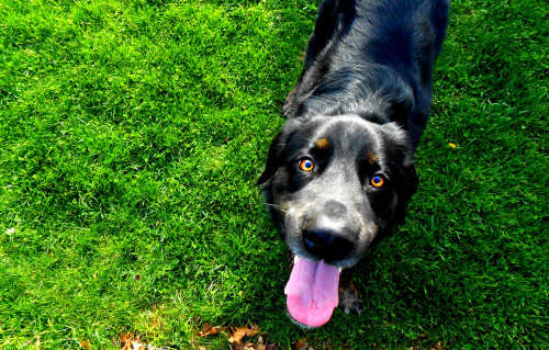 handsomedogs:  Zim at 2 years old! Newfoundland. Gordon Setter mix. Love him he is my best friend!  Pretty eyes!