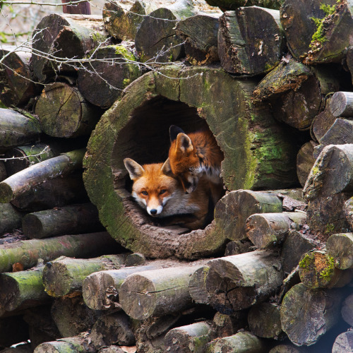 llbwwb:  Foxes (via All sizes | Foxes | Flickr - Photo Sharing!)