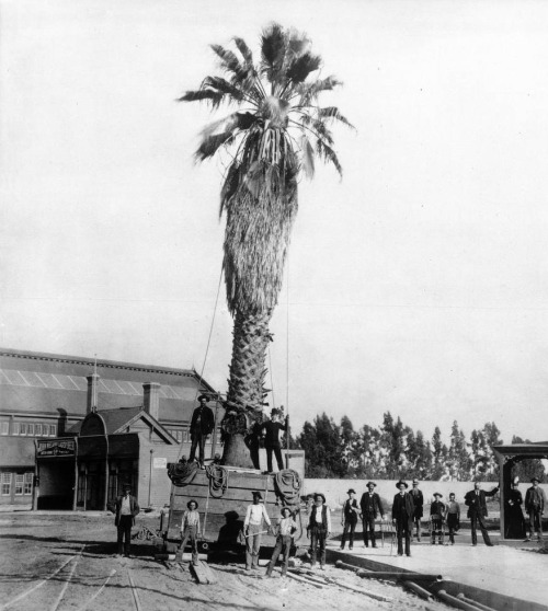 Still growing today, the palm tree shown here in 1888 may be L.A.'s oldest. Where can you see it? Find out in L.A. as Subject's latest CityDig post for Los Angeles magazine.