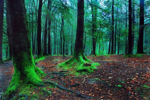 starlitforest:  Tollymore Forest, Ireland
