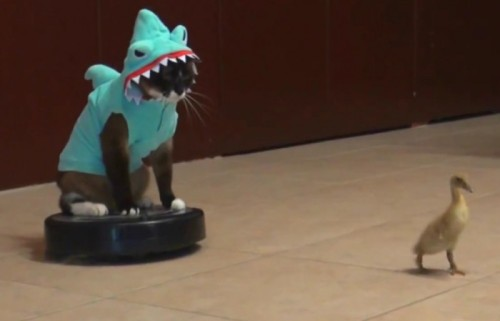 CAT IN A SHARK COSTUME CHASES A DUCKLING ON A ROOMBAby Blaire Bercy http://bit.ly/15MBUgQ