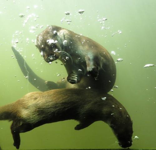 Otters frolicking underwater.