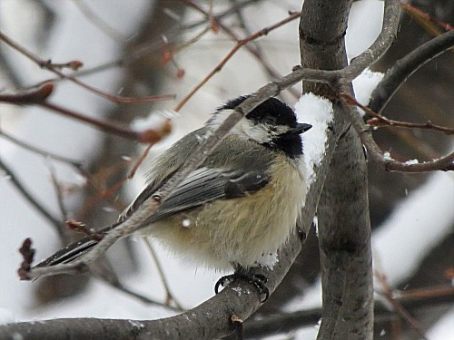 black capped chickadee on linden branch