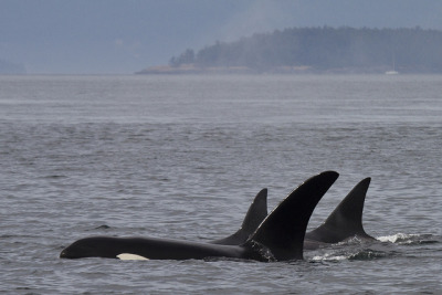 Transient Orca Pod by scottyboylamont on Flickr.