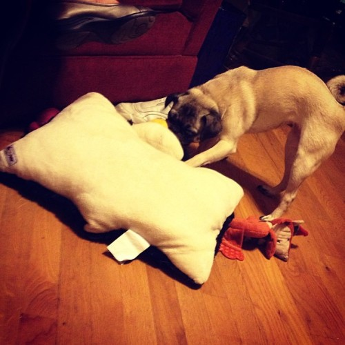 Pillow fight. #pug #pugs