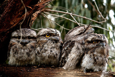 animals-animals-animals:  Tawny Frogmouth (by BrightLightMedia)