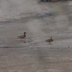 Silly ducks, you don't belong in my alley.