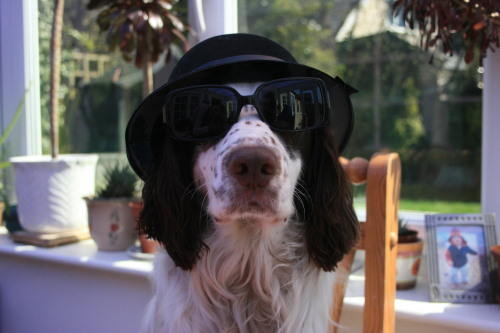 pipthespaniel:  The Blues Brothers return.
