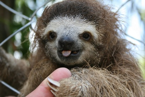 qalactic:  hungryy-wbu:  Sloths Are Perfect.  ^agreed.