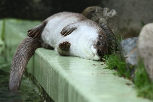 dailyotter:  Otter Relaxes on the Pool's Edge Via Beginners Blog Otter