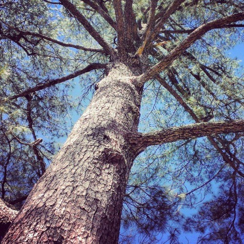 #big #tree #treeporn #treescape #treeframing #treelover #treeshunter #treescollection
